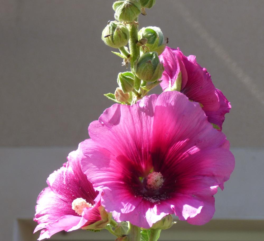 Le charançon de la rose trémière P1060229