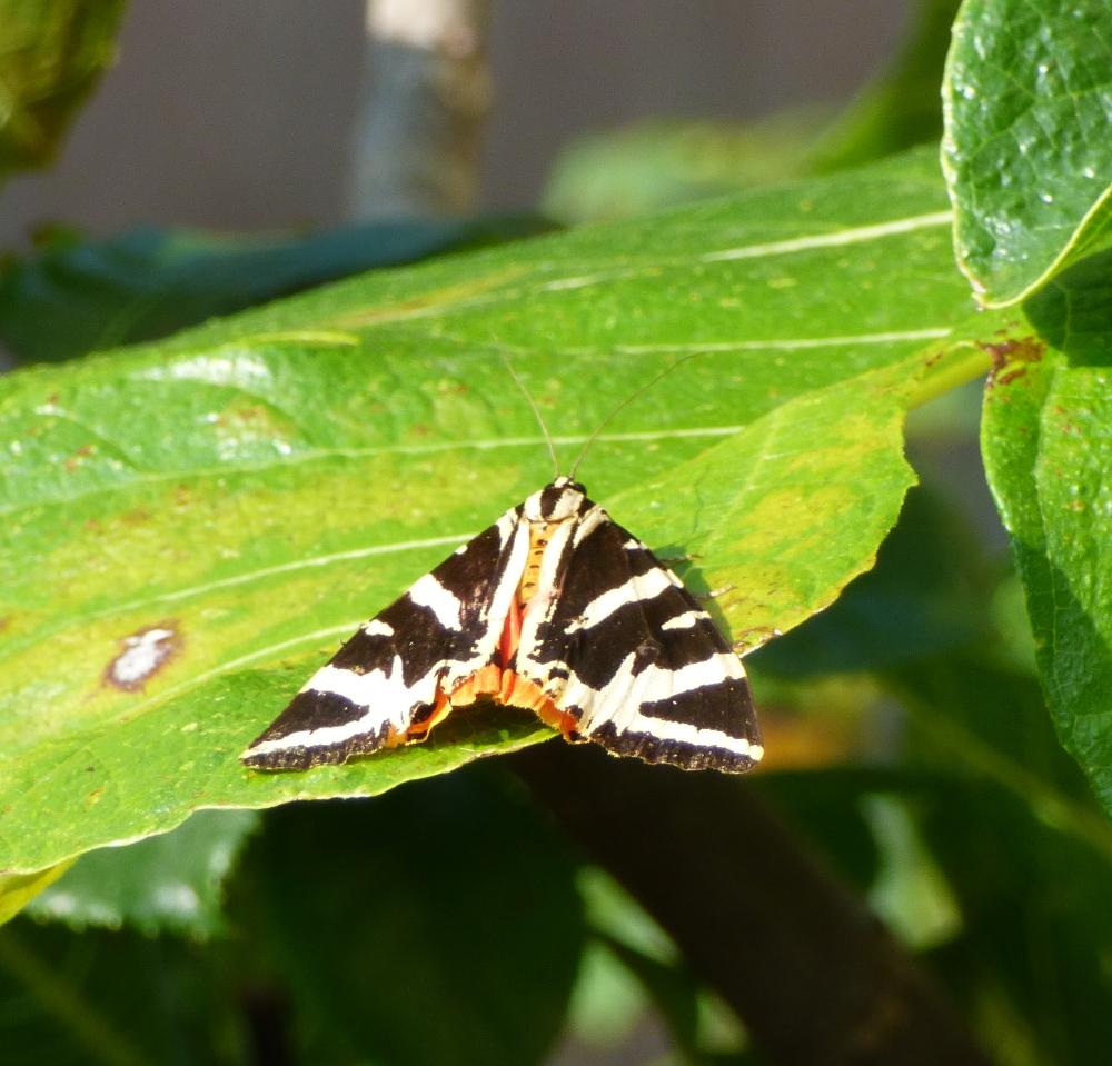 Un papillon, mais quel est son petit nom? P1060311