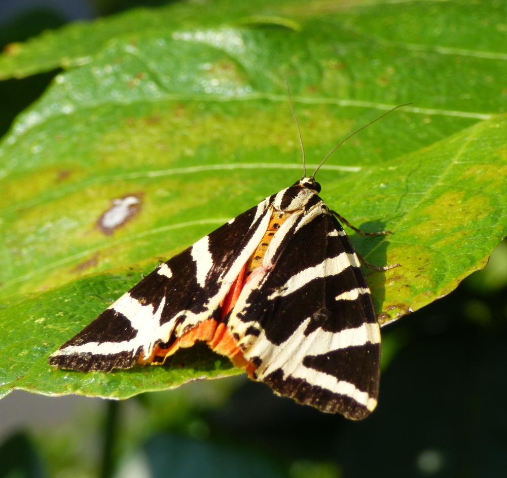 Un papillon, mais quel est son petit nom? P1060312