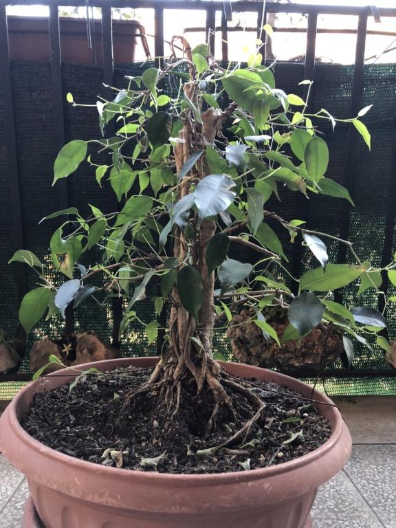 Ficus benj 130f0010