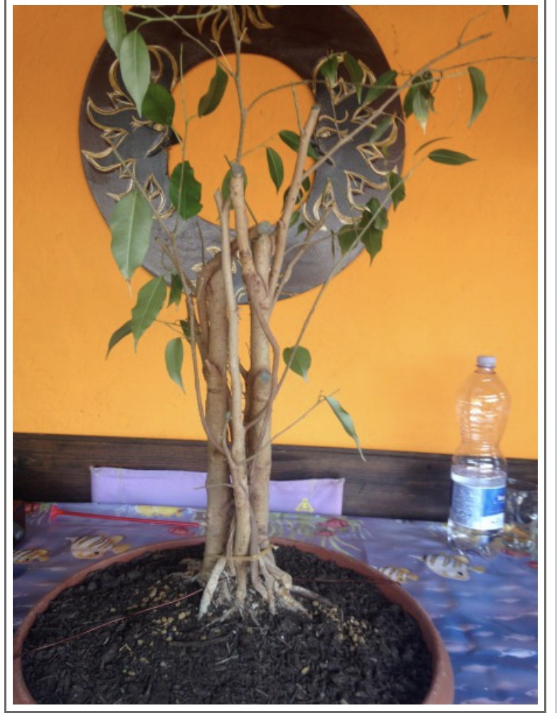 Ficus benj 3b039210