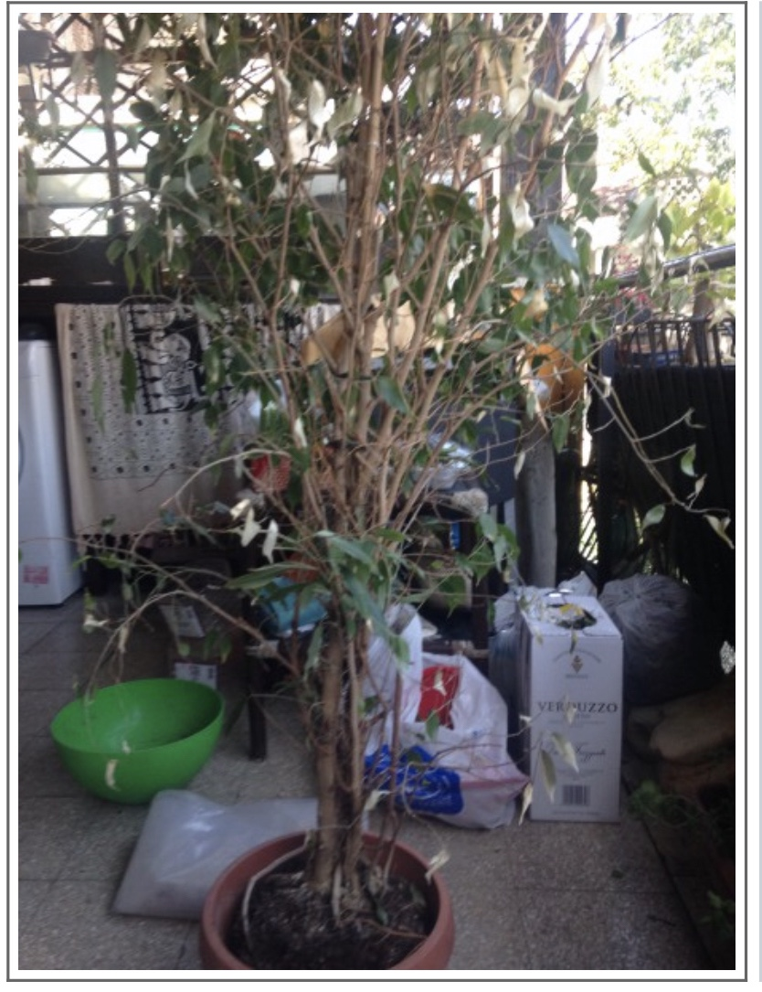 Ficus benj 41ccef10