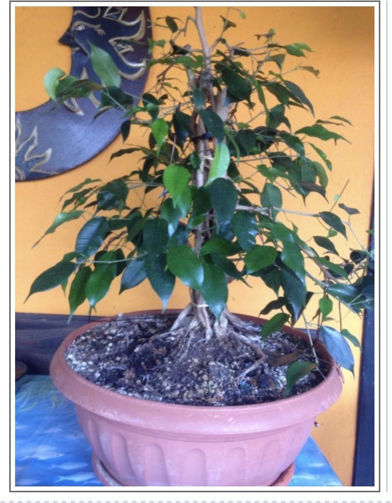 Ficus benj F5074d10