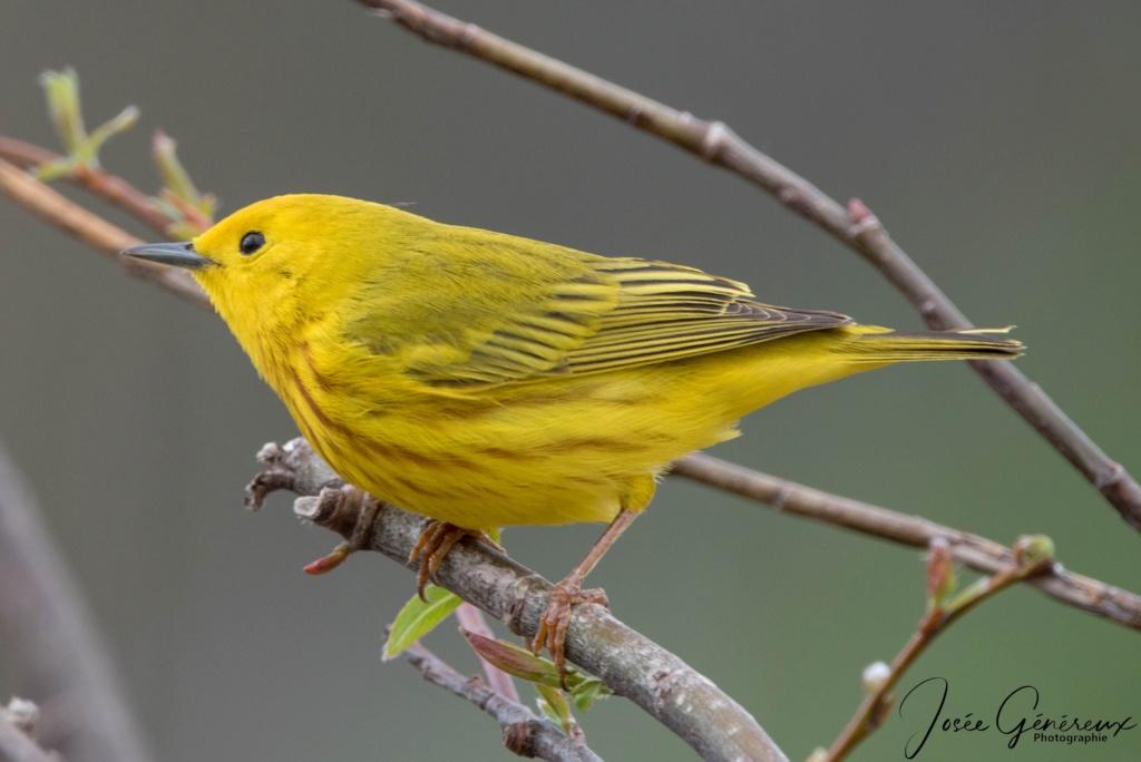 Paruline jaune  000apa10