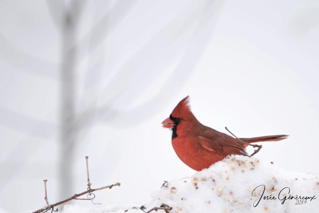 Cardinal rouge mâle  Cardin10