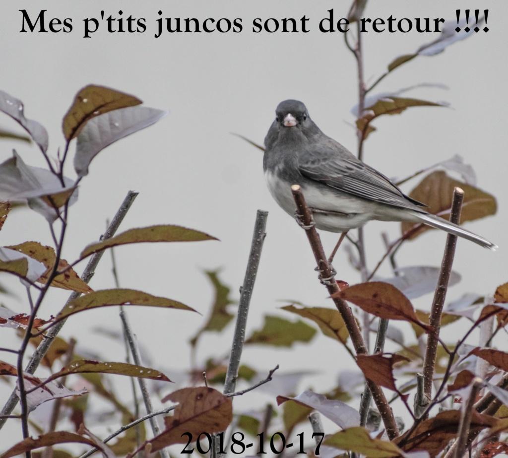 Le retour des Juncos ardoisés Retour10