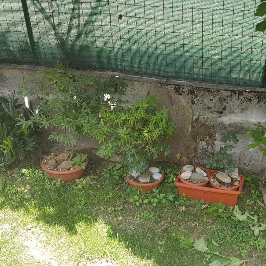 Liquidambar da seme Img_2011