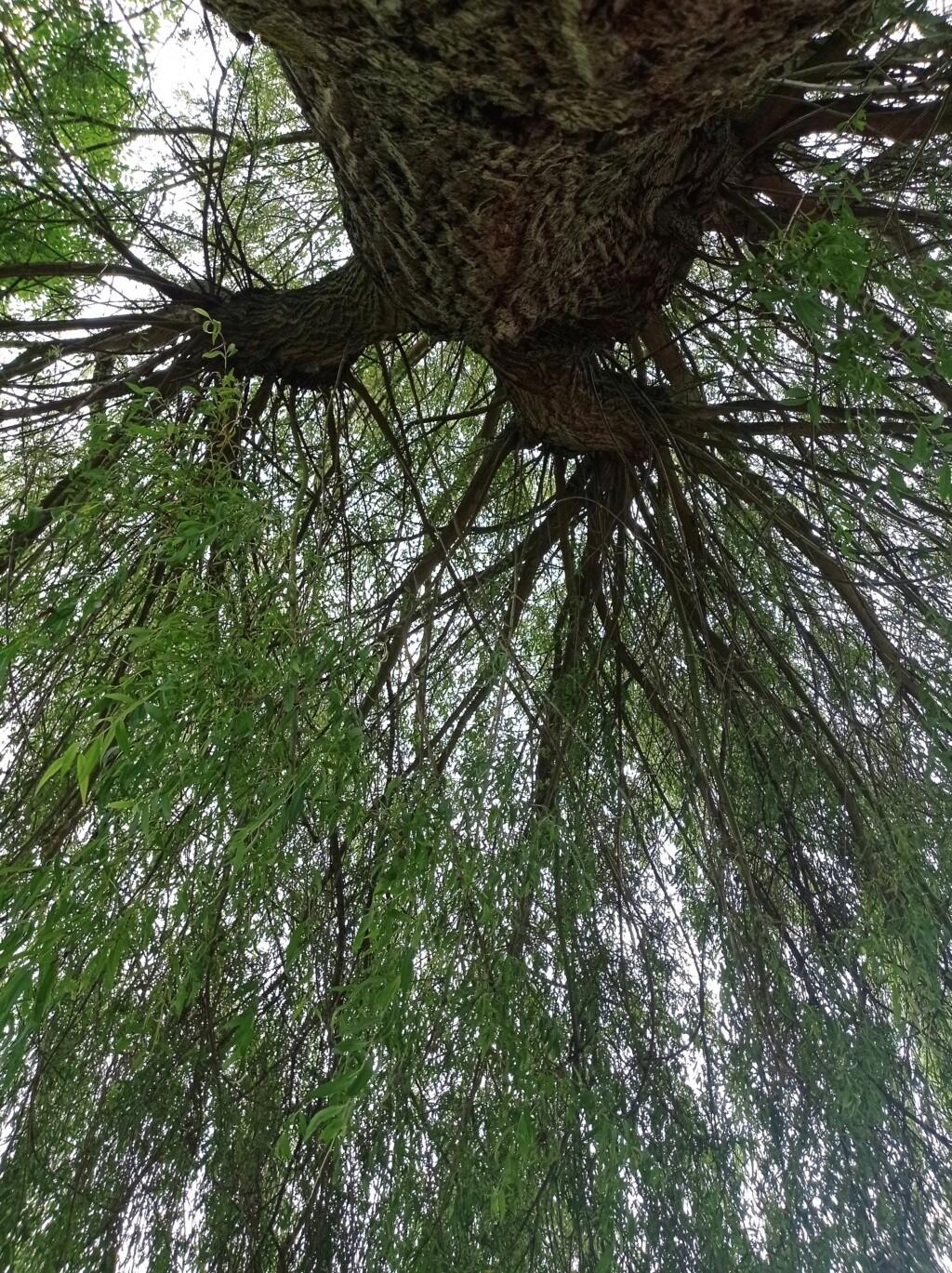 Astrologie Celte / des arbres  Img_2135