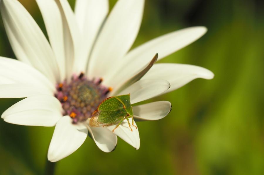 [Stictocephala bisonia] insecte bizarre P9010016