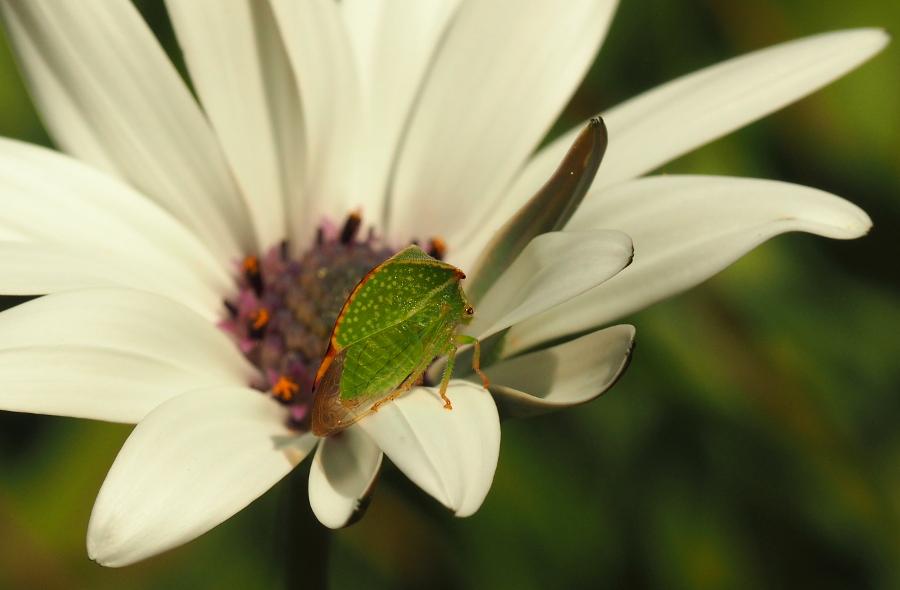 [Stictocephala bisonia] insecte bizarre P9010017