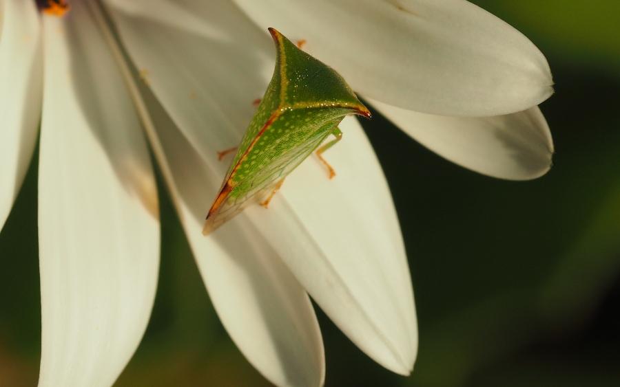 [Stictocephala bisonia] insecte bizarre P9010018
