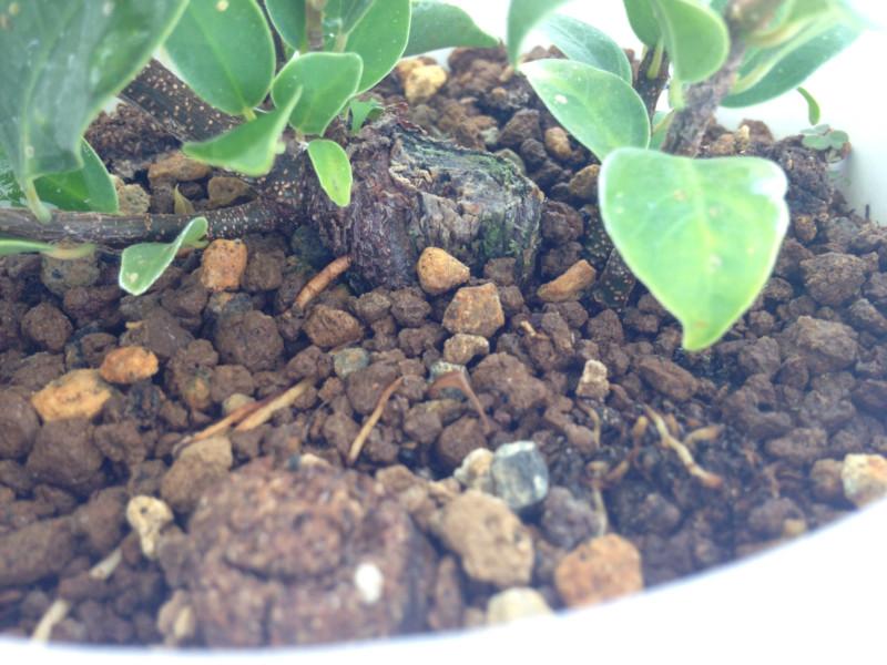 El ficus más feo de España que quería convertirse en bonsai 15347610
