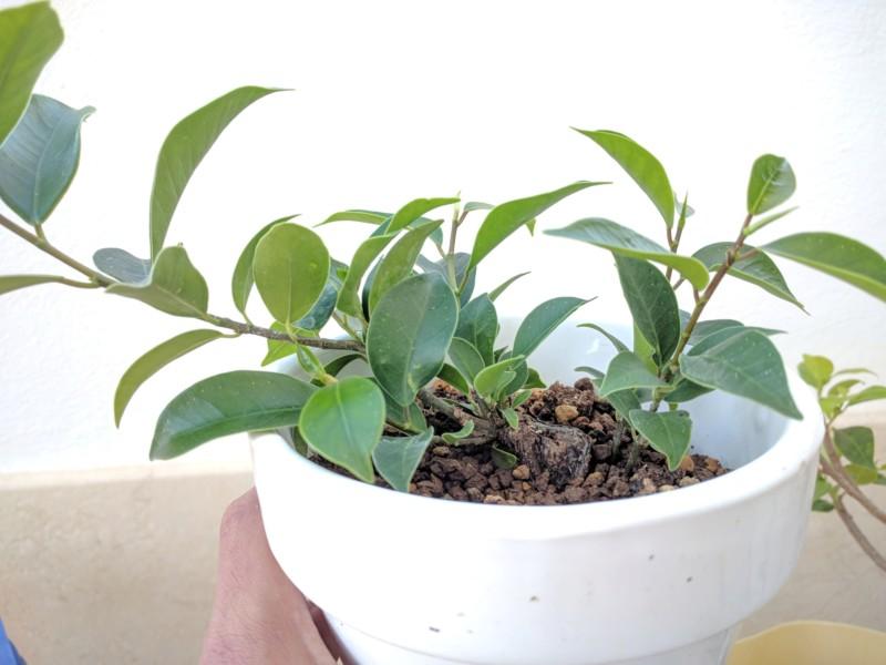El ficus más feo de España que quería convertirse en bonsai 20180710