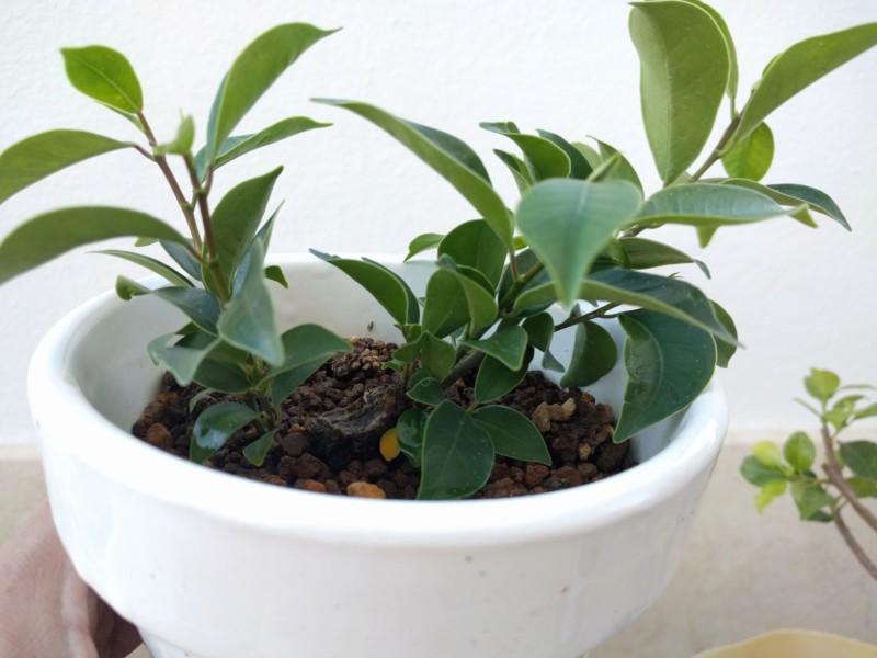 El ficus más feo de España que quería convertirse en bonsai 20180712