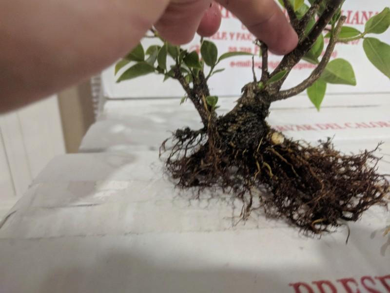 El ficus más feo de España que quería convertirse en bonsai 20190422