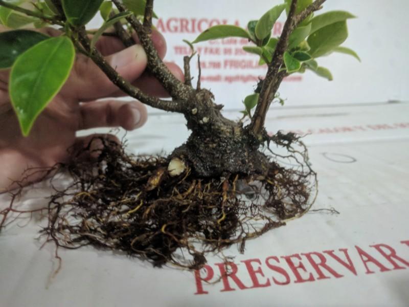 El ficus más feo de España que quería convertirse en bonsai 20190423