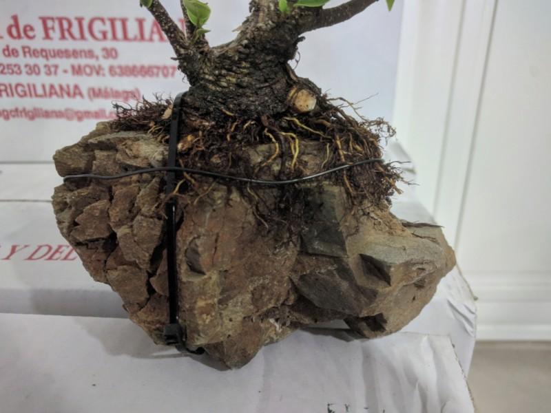 El ficus más feo de España que quería convertirse en bonsai 20190424