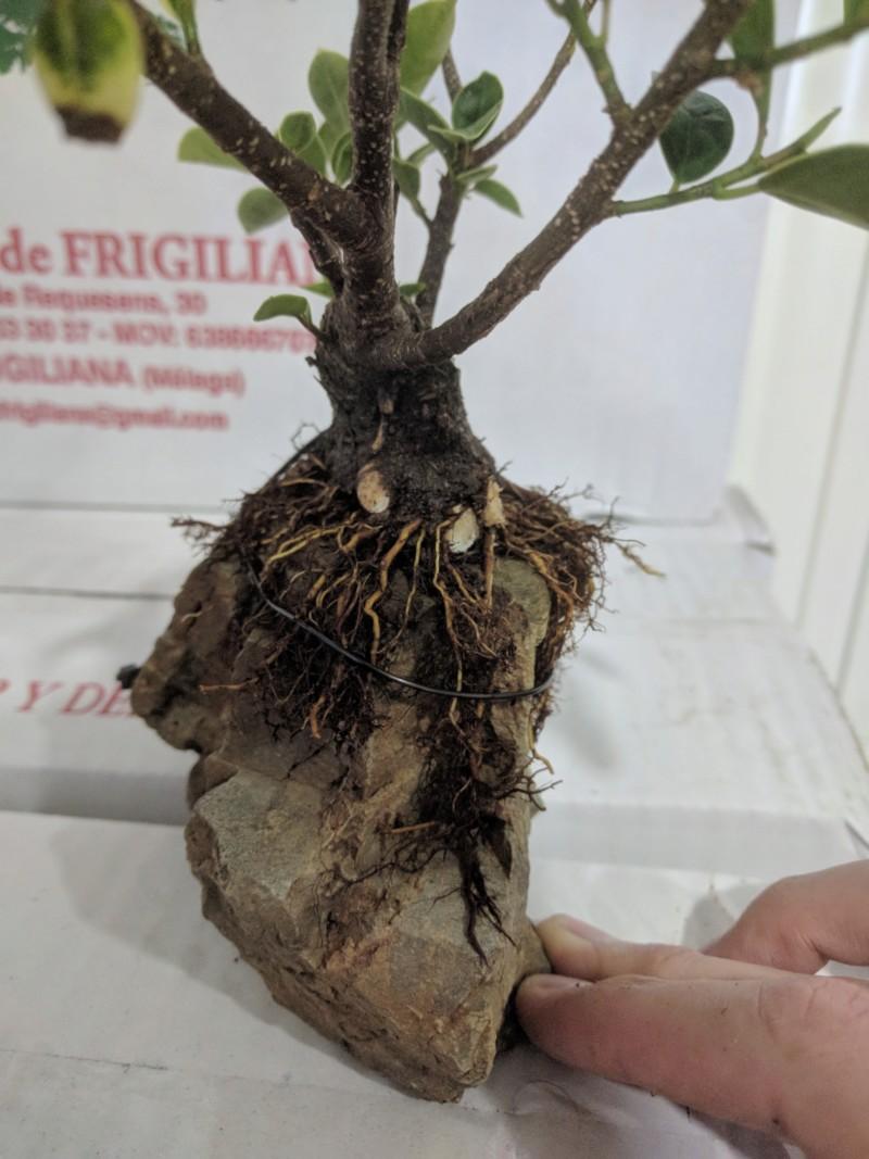 El ficus más feo de España que quería convertirse en bonsai 20190426