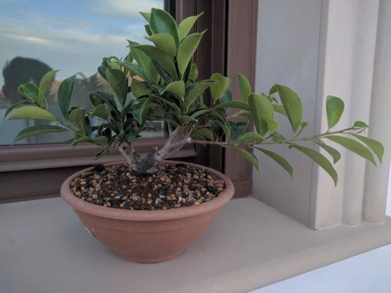 El ficus más feo de España que quería convertirse en bonsai 20190724
