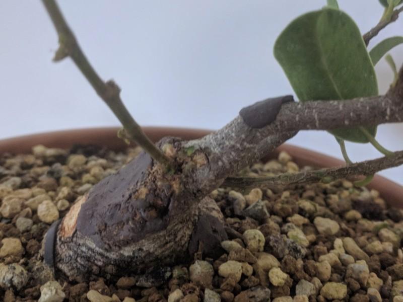 El ficus más feo de España que quería convertirse en bonsai 20190725