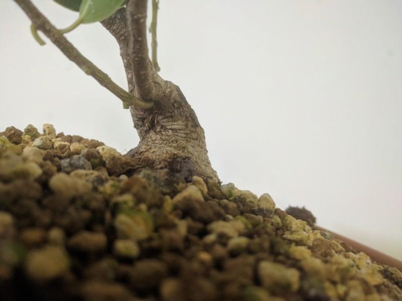 El ficus más feo de España que quería convertirse en bonsai 20190726