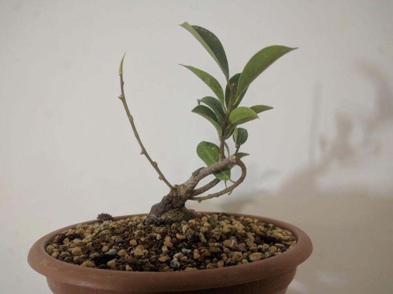 El ficus más feo de España que quería convertirse en bonsai 20190727