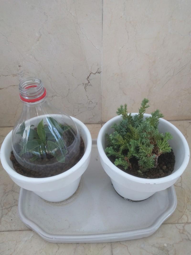 El ficus más feo de España que quería convertirse en bonsai 20190728