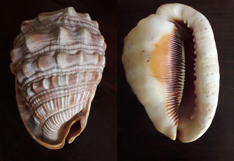 Cypraecassis rufa - Linnaeus-1758 Coquil11
