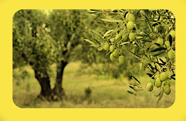 Оливковое дерево (маслина) (23.09). _a10