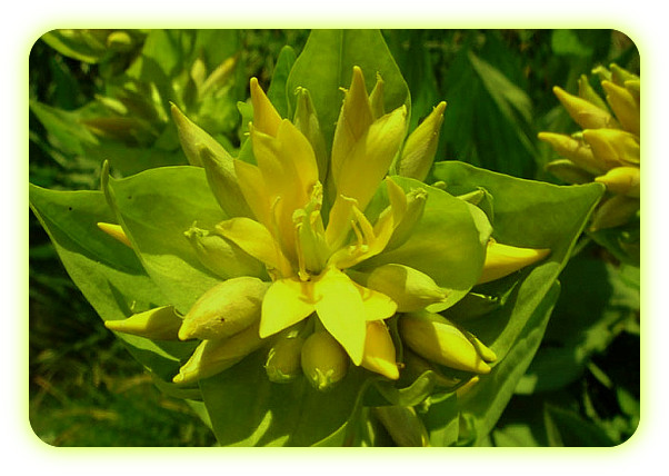Магические растения Ордена Розенкрейцеров. A14