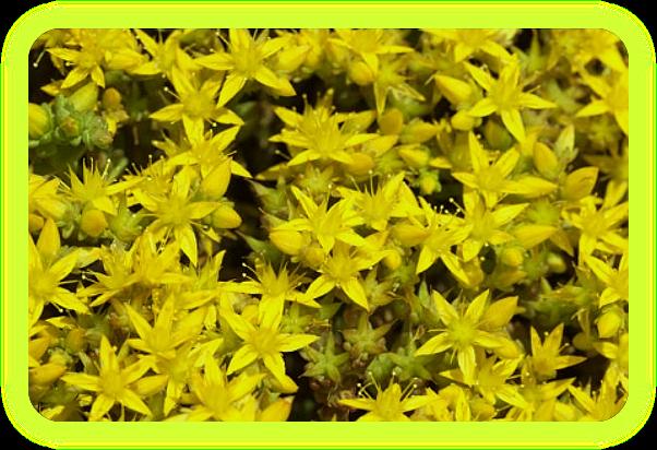 Магические растения Ордена Розенкрейцеров. A15