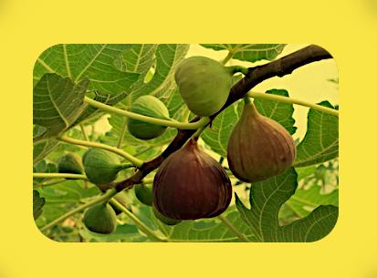 Фиговое дерево (инжир) (14.06-23.06; 12.12-21.12). A24