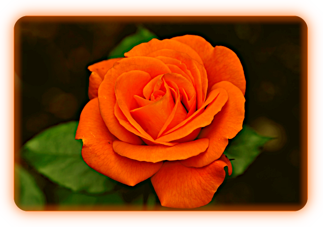 Роза. A30