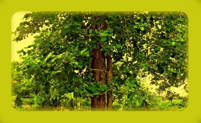 Сандаловое дерево. A_a10