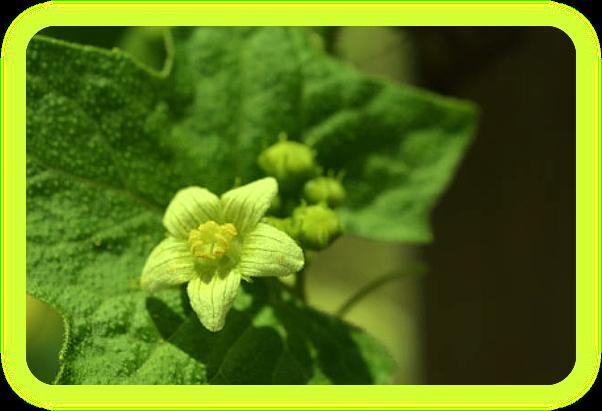 Магические растения Ордена Розенкрейцеров. Aa13