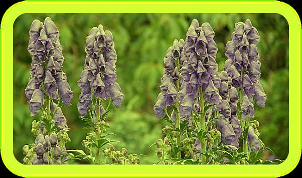 Магические растения Ордена Розенкрейцеров. Aa_212