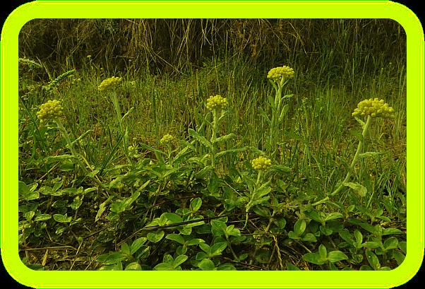 Магические растения Ордена Розенкрейцеров. Eaia10