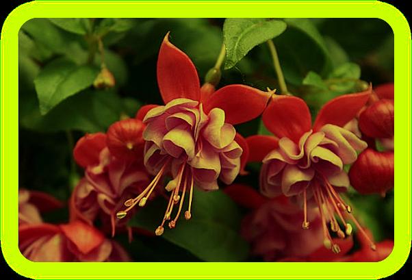 Магические растения Ордена Розенкрейцеров. Iaau10