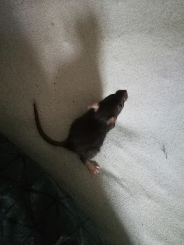 15 ratons à adopter !  52607811