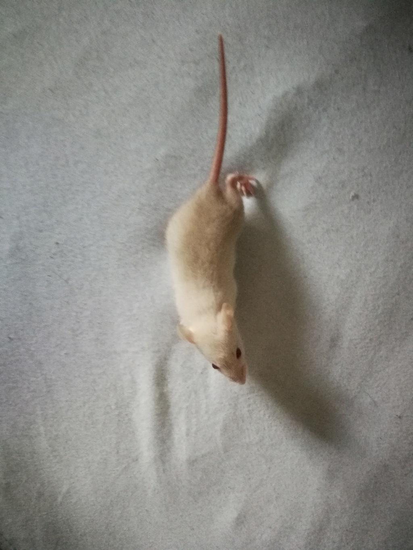 15 ratons à adopter !  52757210