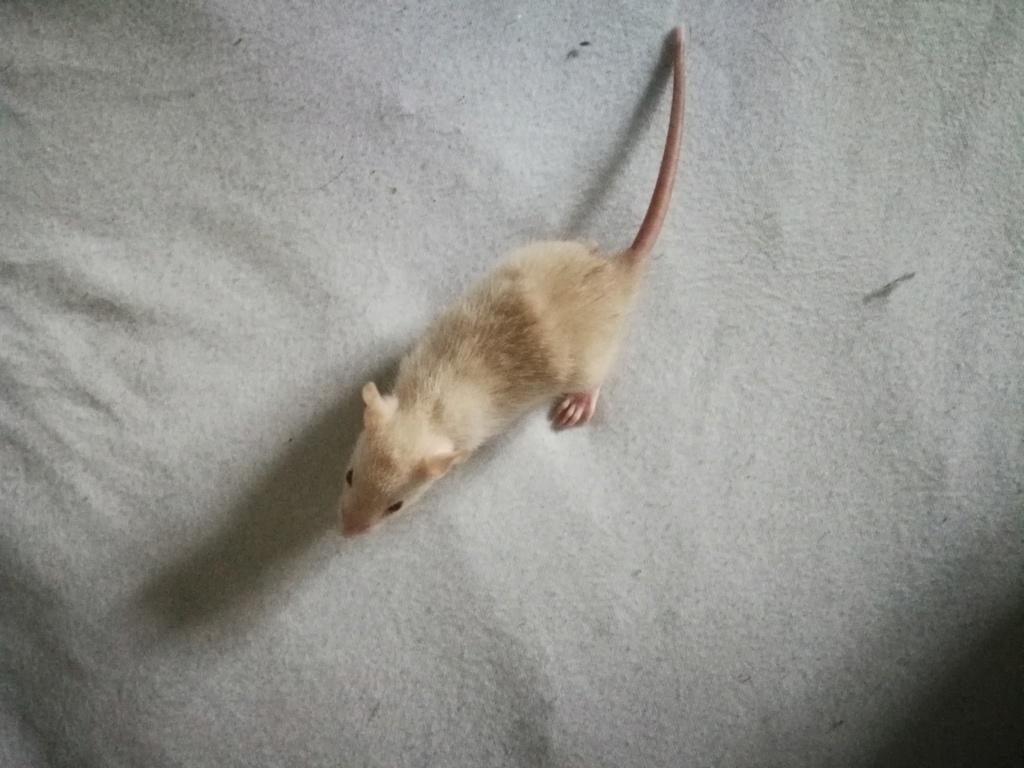 15 ratons à adopter !  53199710