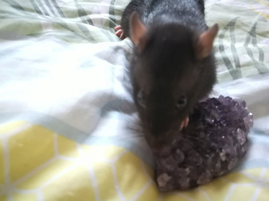 15 ratons à adopter !  - Page 5 57592710