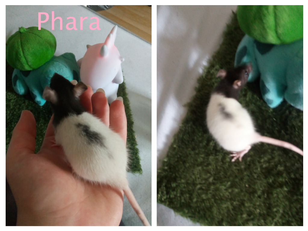 15 ratons à adopter !  - Page 2 Phara_10