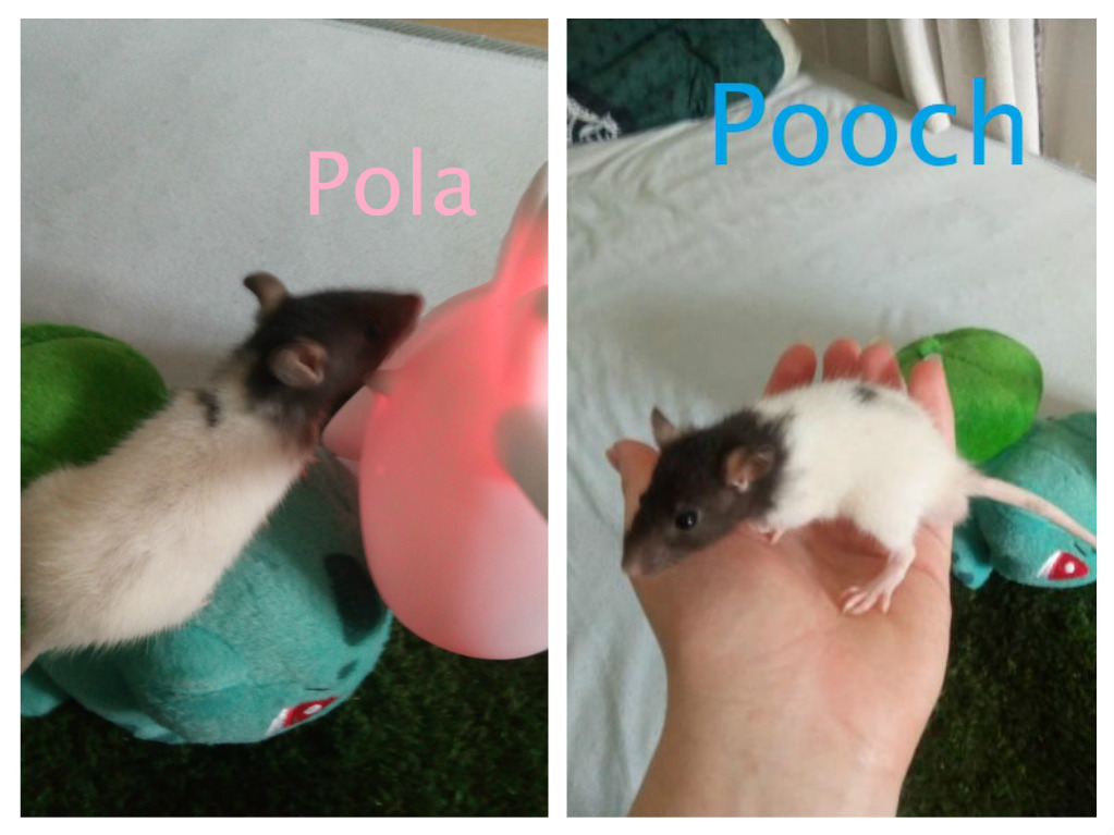 15 ratons à adopter !  - Page 2 Pola_e10