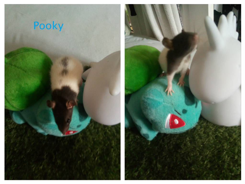 15 ratons à adopter !  - Page 2 Pooky_10