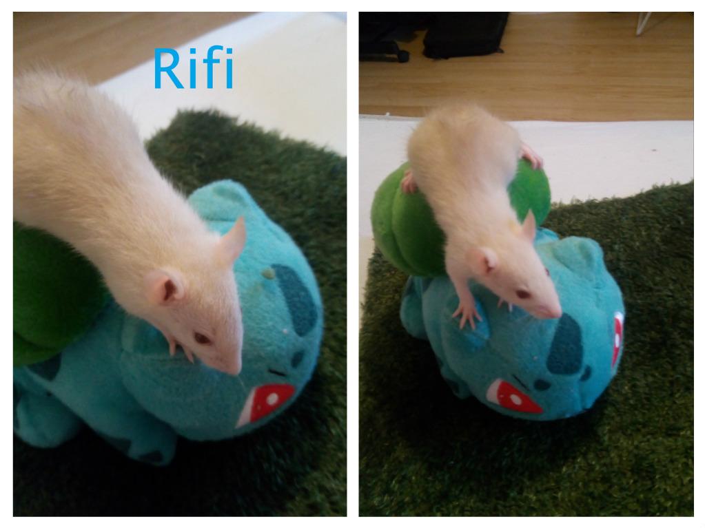 15 ratons à adopter !  - Page 2 Rifi_f10