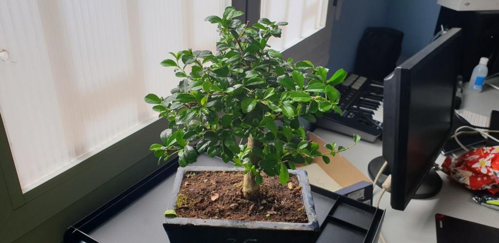 que tipo de bonsai es  20190310