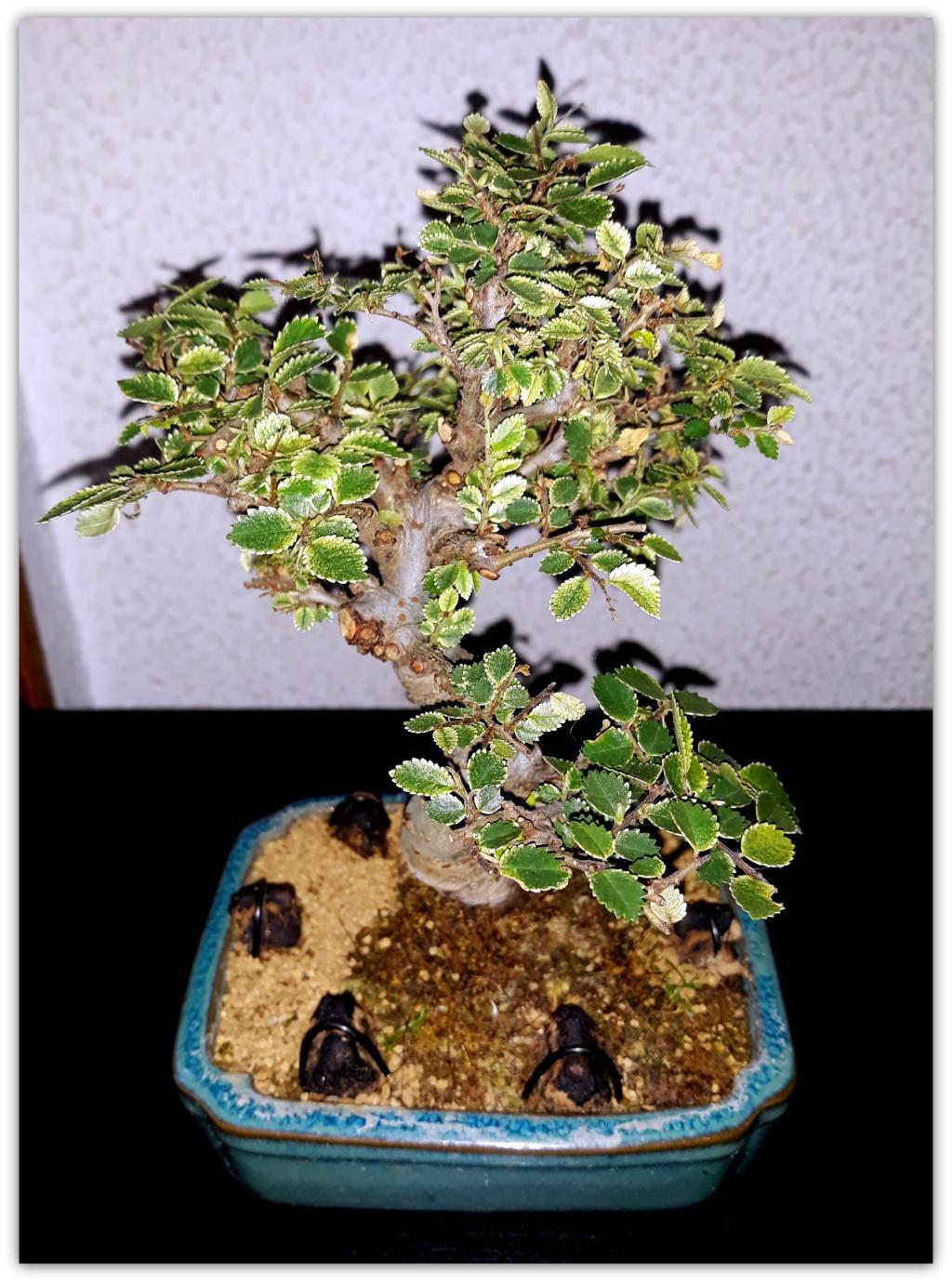 Ulmus parvifolia shohin 20190512