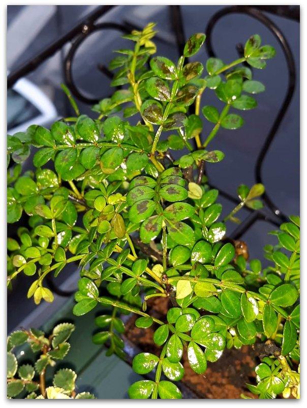 Pepper tree: foglioline macchiate di nero 57649111