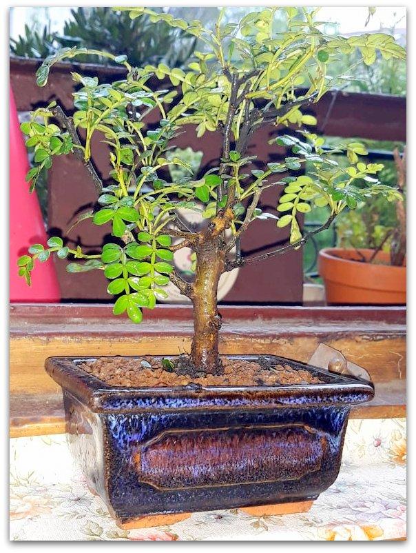 Pepper tree: foglioline macchiate di nero 58378210